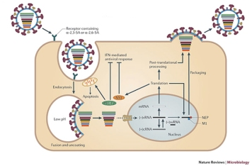 O ciclo de vida do virus IAV. Nature Reviews Microbiology (2011) 9, 590-603